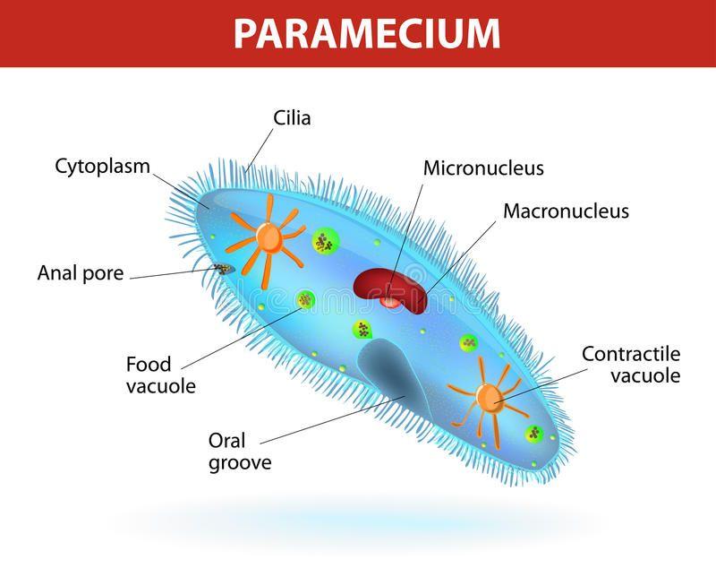Structure Of A Paramecium Anatomy Of A Paramecium Vector Diagram Ciliate Prot Sponsored Vector Diagram Cil Science Diagrams Anatomy Science Biology