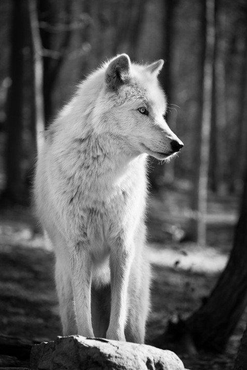 """Résultat de recherche d'images pour """"loup blanc noir et blanc"""""""