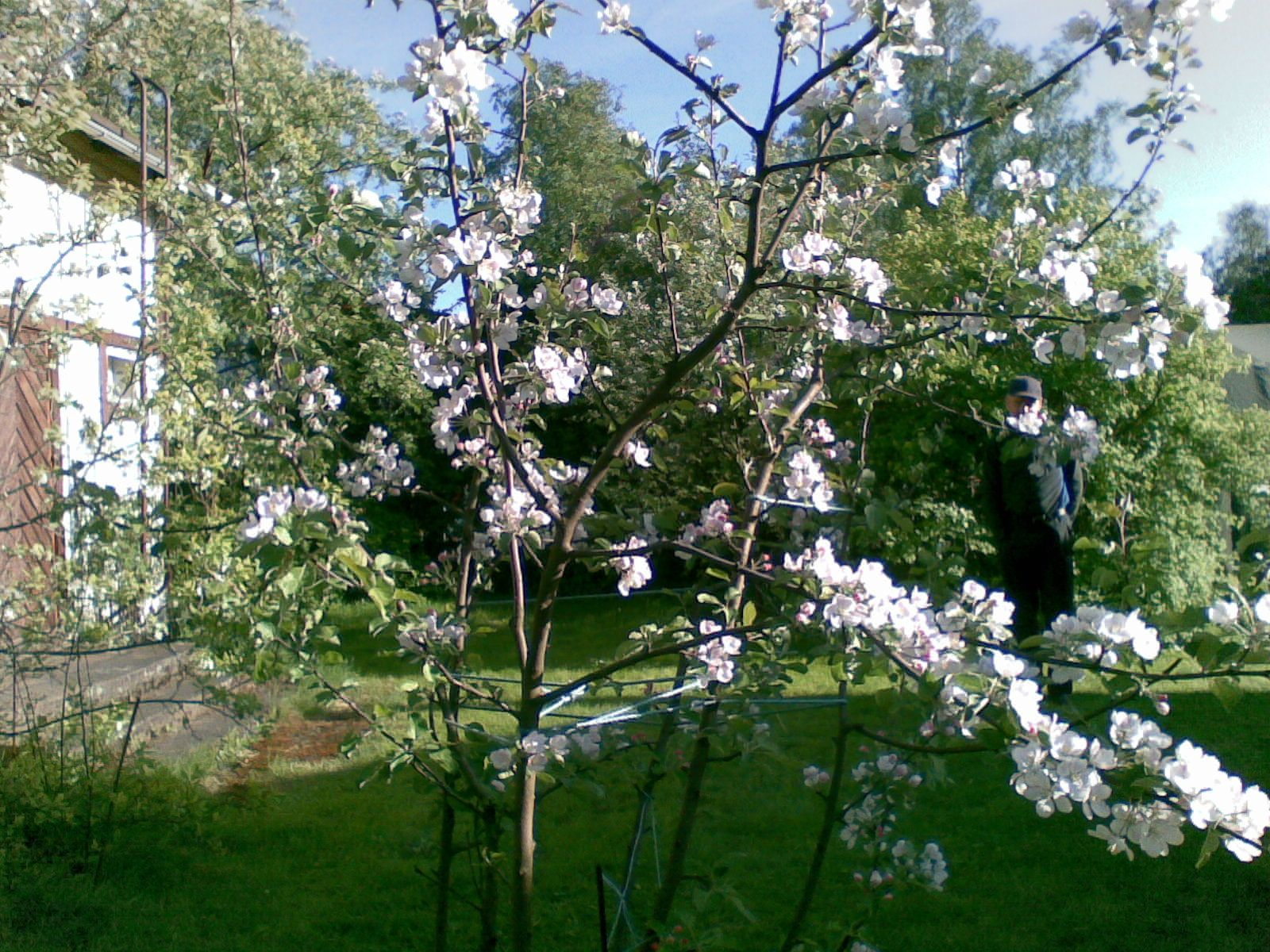 Omenapuu kukassa 2011