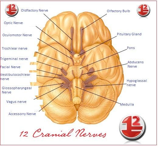 Cranial Nerves of the Brain (12 Pairs)