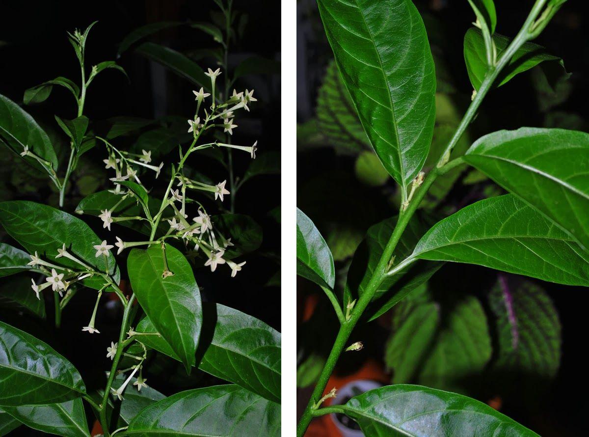 Kalachuchi atbp dama de noche night blooming jasmine flower kalachuchi atbp dama de noche night blooming jasmine izmirmasajfo Image collections