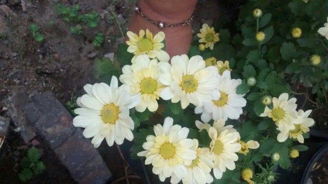 Margaridas de jardim