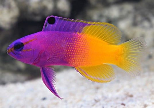 You Are Here Home Blog 18 Best Saltwater Aquarium Fish For Beginners 18 Best Saltwater Aquarium Saltwater Aquarium Fish Saltwater Fish Tanks Reef Aquarium