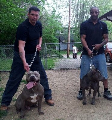 Blue Supremacy Pits American Xl Pitbull Terrier Breeding