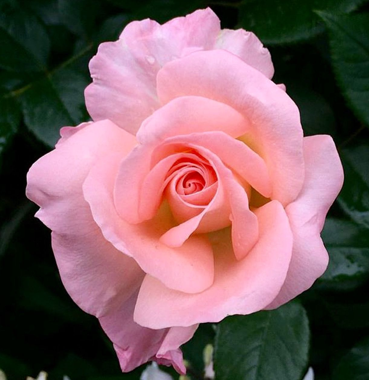 Pin by ayegl yney on glistan pinterest flowers beautiful single flowers pink roses beautiful flowers pasta roses hot pink flowers nature pretty flowers simple flowers izmirmasajfo
