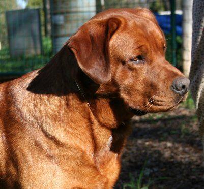 English Labrador Puppies Akc English Labrador Breeder We Believe