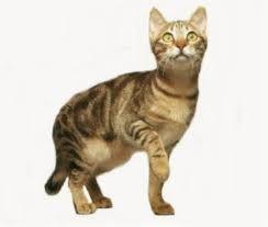 www.petclic.es la mayor tienda online de productos para #mascotas. La mayor biblioteca de contenido y consejos sobre mascotas. 1.000 consejos. 50.000 imágenes. Foto del #gato #sokoke