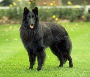 scottish deerhound height comparison   Belgian Sheepdog ...