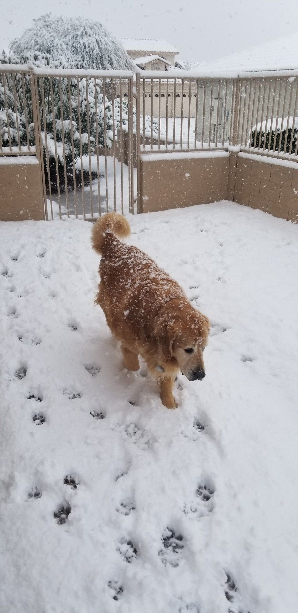 My golden retriever enjoyed the snow in Tucson in February