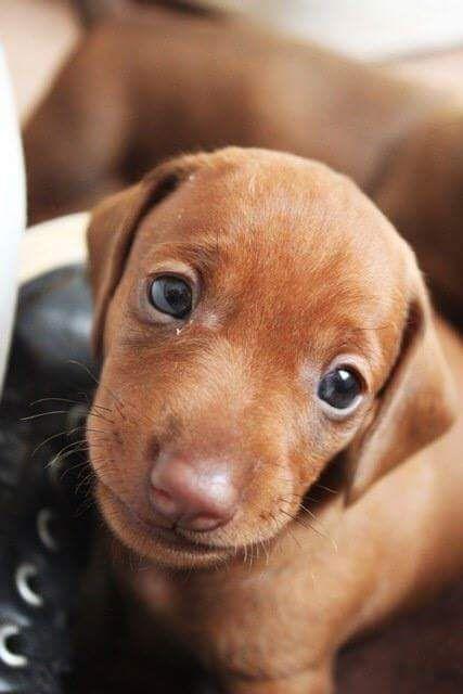 Pin By Tera Fox On Animali Cute Dogs Vizsla Puppies Vizsla Dogs