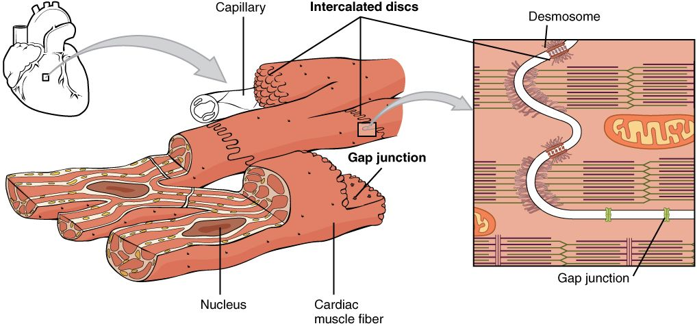 Describe the generalised structure of a skeletal muscle cell describe the generalised structure of a skeletal muscle cell google search ccuart Image collections