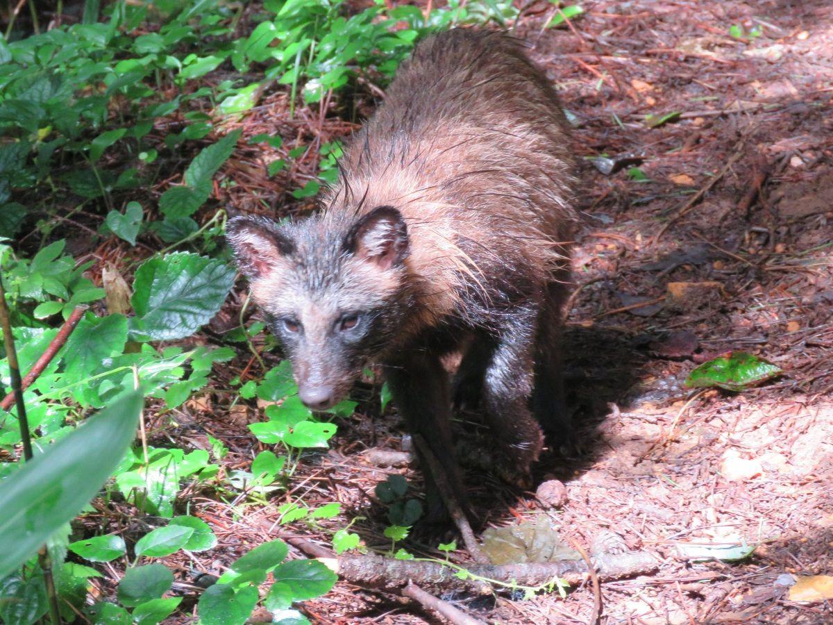 哺乳類、タヌキ. raccoon dog. 15 July 2016.