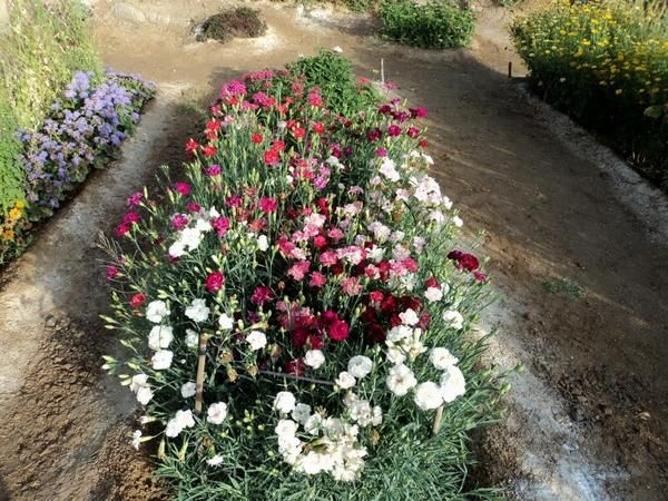 Гвоздика шабо фото цветов на клумбе