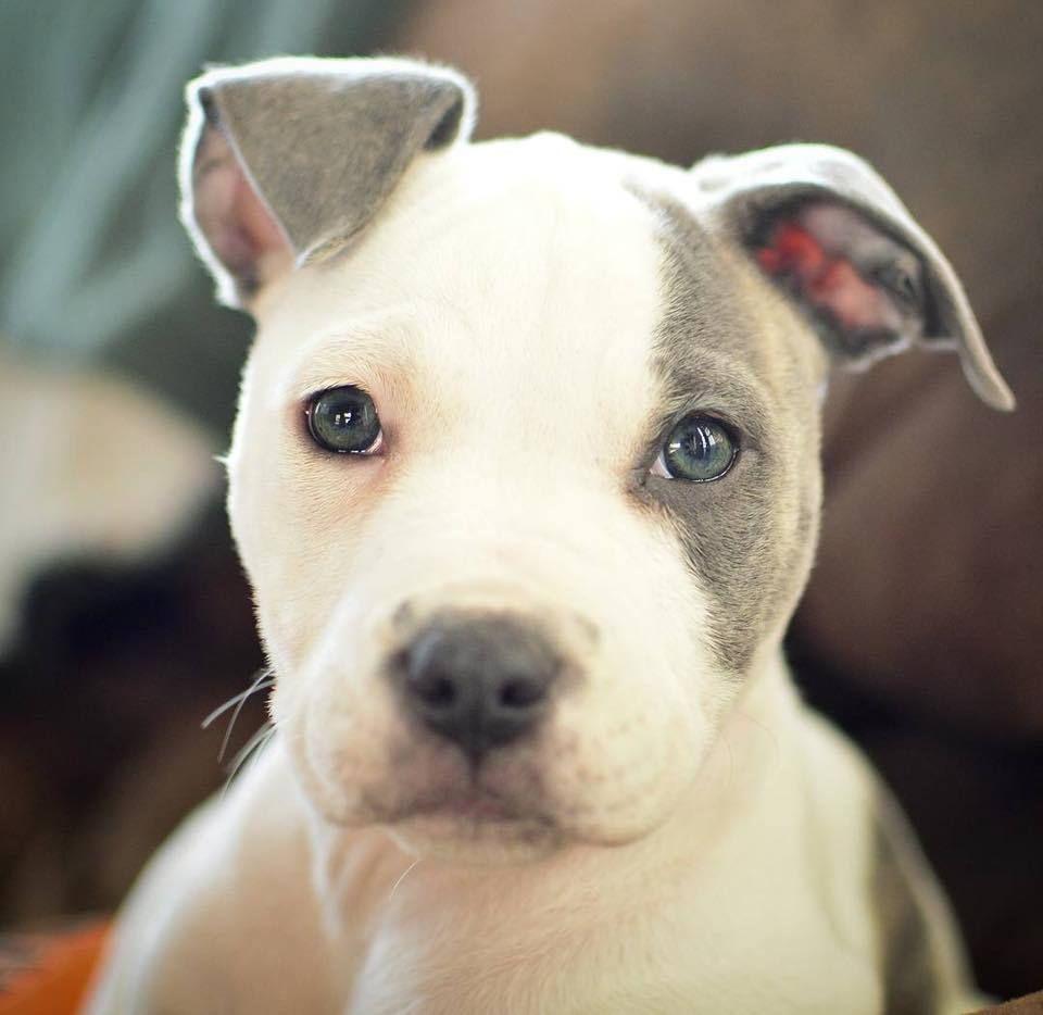 Adopt Janis On Petfinder Pitbull Terrier American Pitbull Terrier Bull Terrier Mix