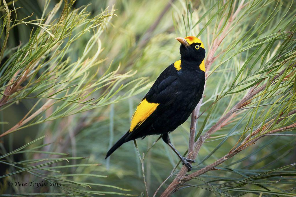 Regent Bowerbird Male Birds Animals Birds Of Paradise