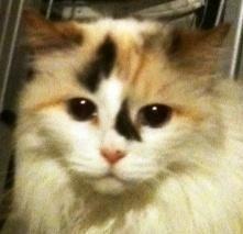 Adopt Princess Snow White On Petfinder Ragamuffin Cat Ragamuffin Cats