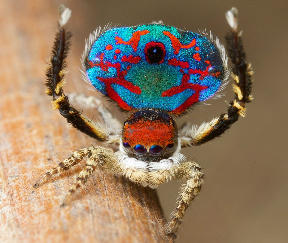 Male of Australian peacock spider (With images) Spider