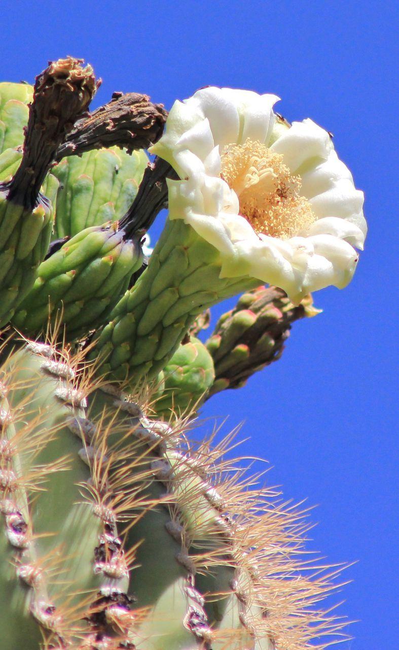 outdoorarizona Saguaro blossom, Arizona's state flower