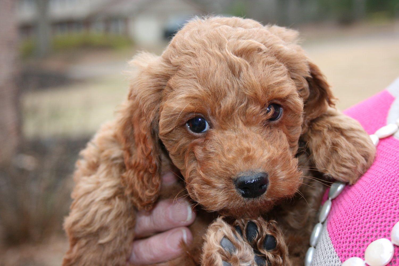 Crockett Doodles Family Raised Doodle Puppies For Sale Doodle Puppy