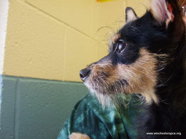 wire haired terrier chihuahua mix wire haired chihuahua mix dog shelter sweethearts 7523