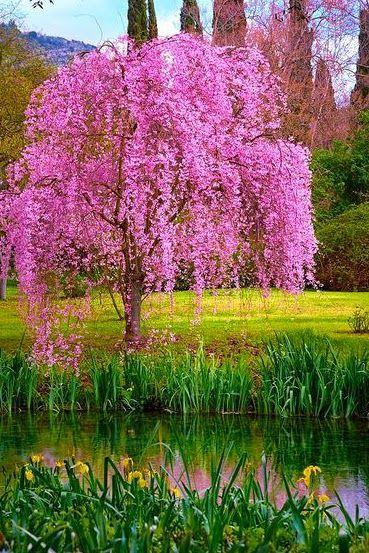 Blooming Beautiful Tree Flowering Trees Blossom Trees