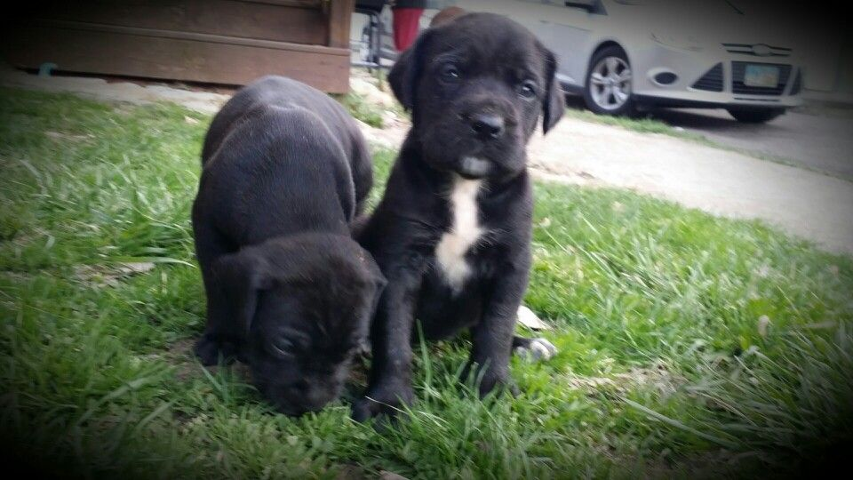 4 Week Old Mastidane Puppies Azula Zuko Lve Pinterest
