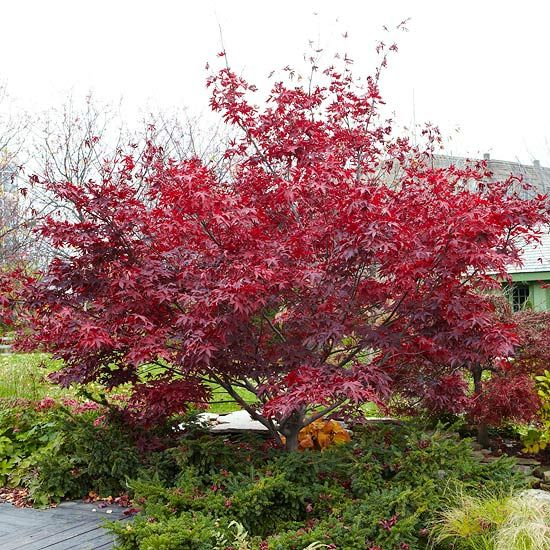 Selecting trees for your yard japanese maple japanese and plants - Landscape elements that you should consider for your yard ...
