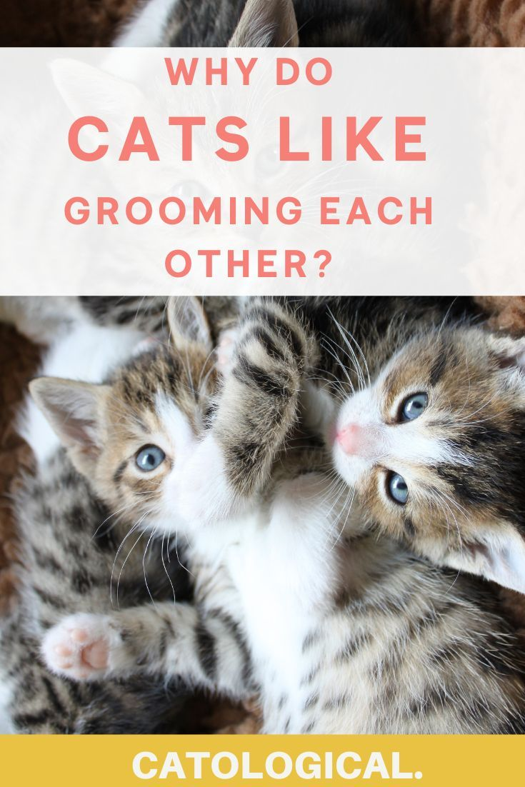 Why Do Cats Lick And Groom Each Other? in 2020 Cat