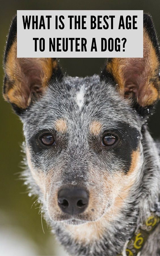 What is the Best Age to Neuter a Dog? Neutering dogs