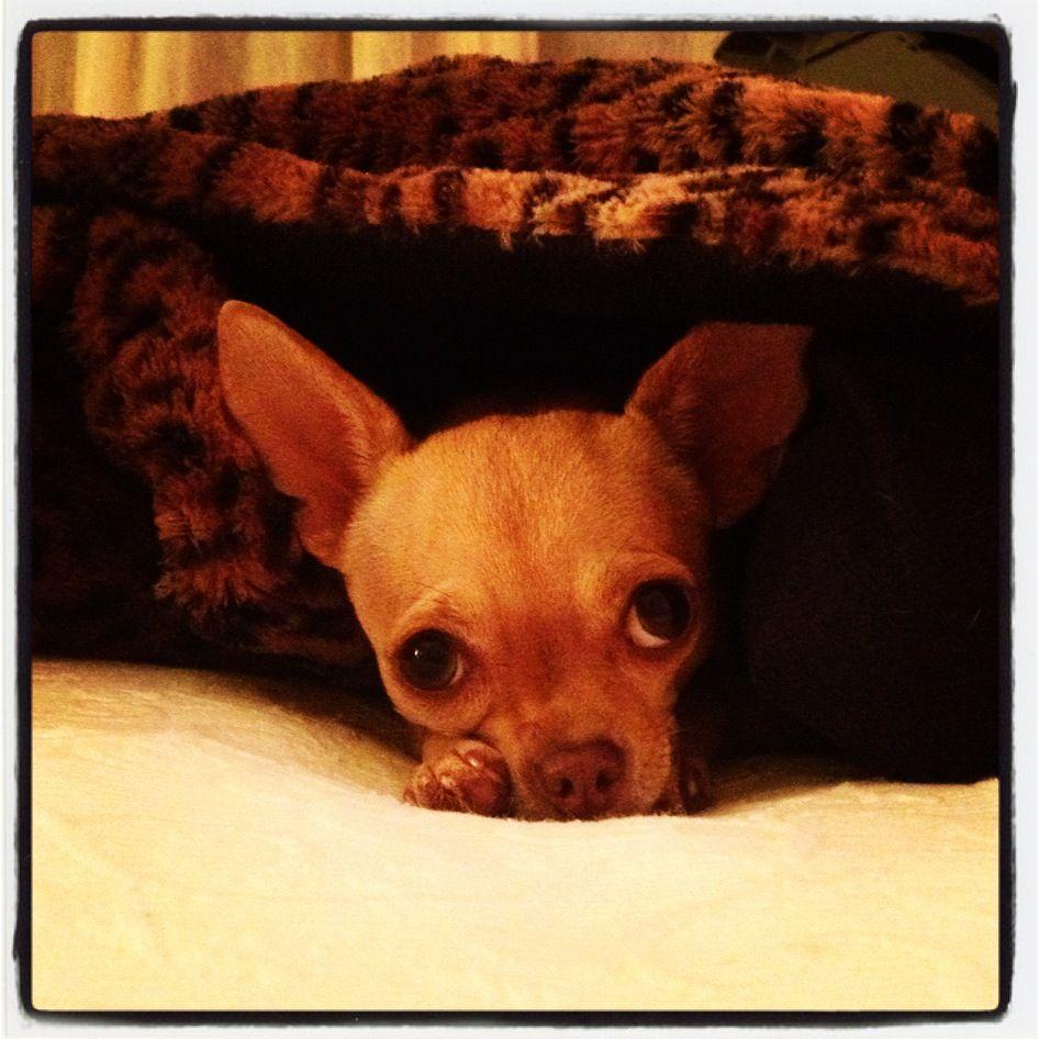 Cute Chihuahua!!