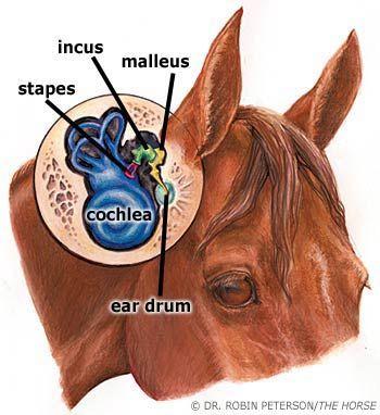 Eye/Ear/Guttural Pouch Anatomy | Horse Management | Pinterest ...