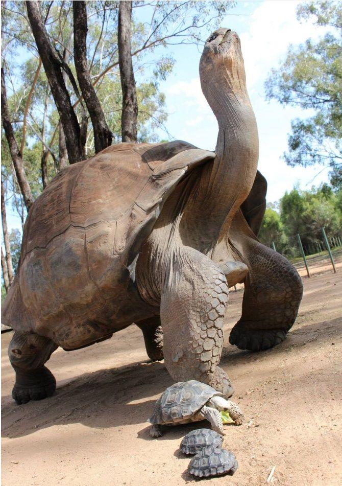 jabuti gigante de galapagos e sua familia | turtle\'s | Pinterest ...
