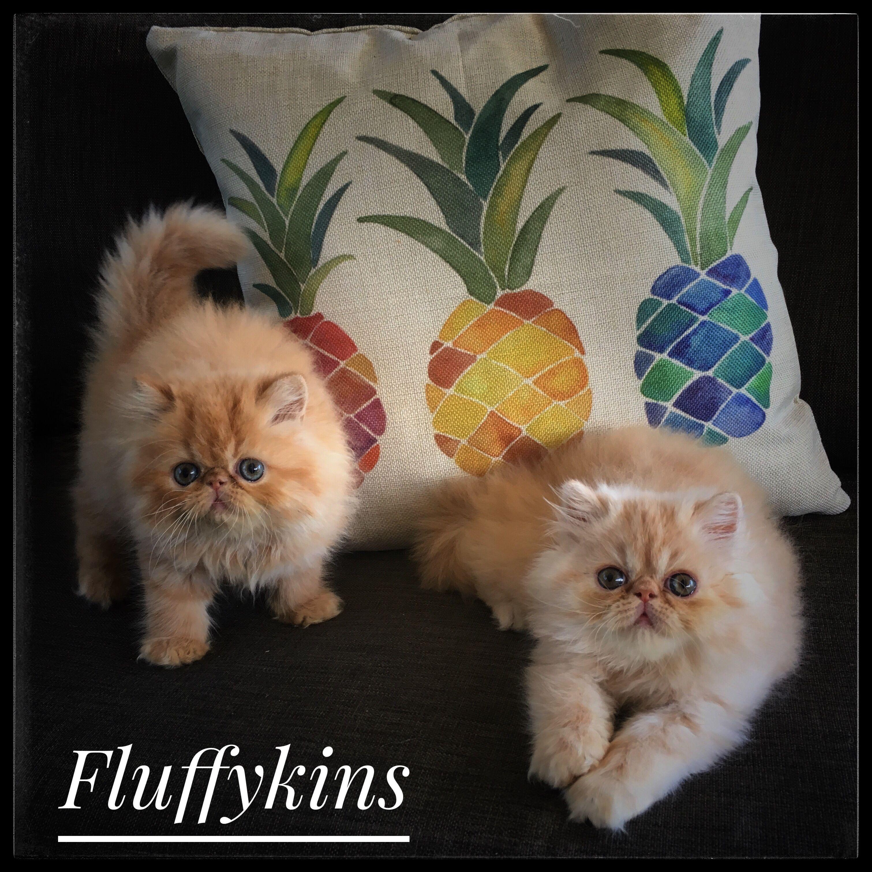 Daisy And Sunflower Kitten Breeds Fluffy Kittens Baby Cats