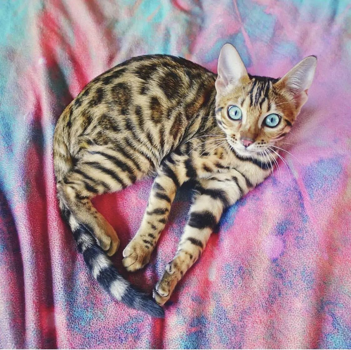 Pin By Goessel On Pets Bengal Cat Bengal Kitten Cat Photography