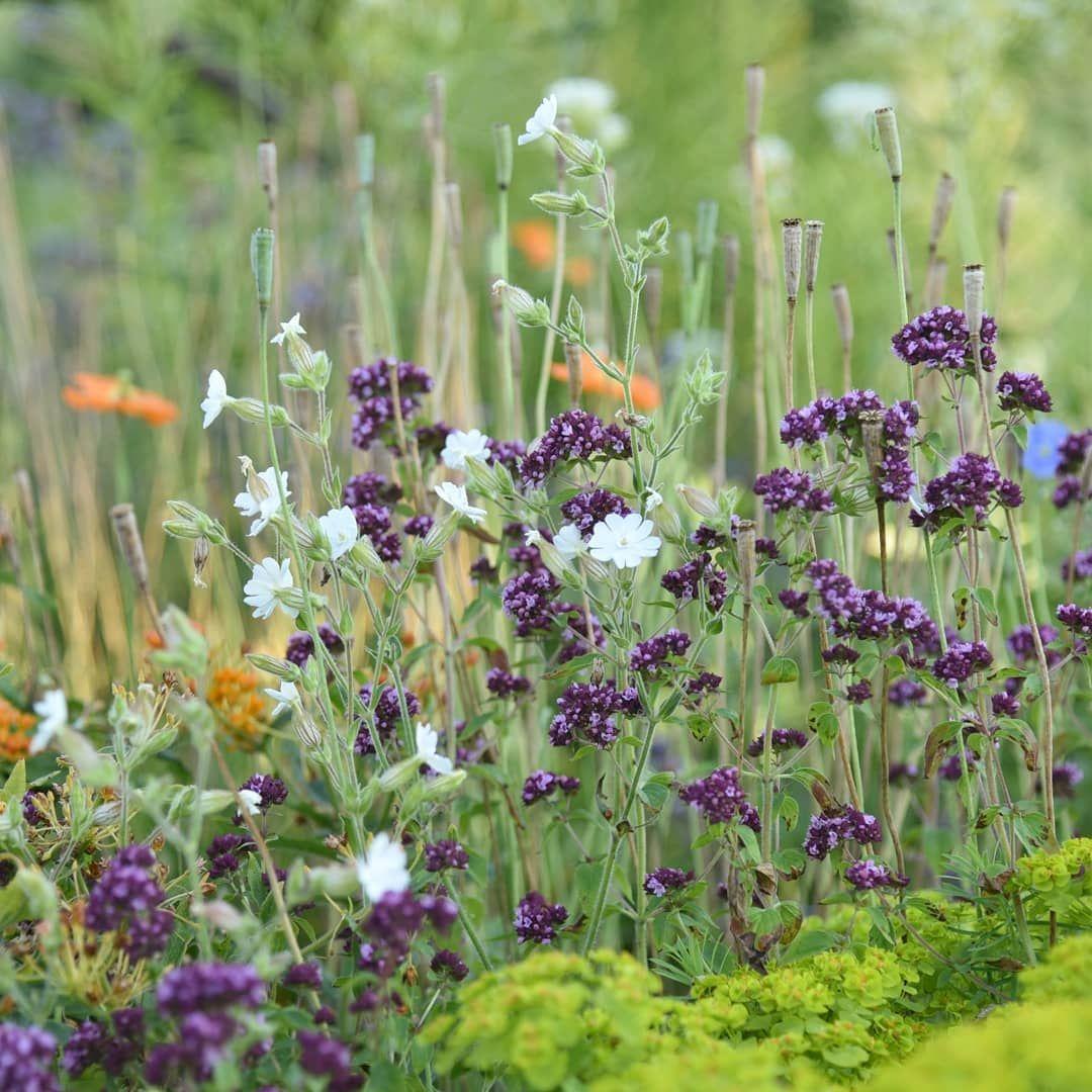Part Of The Gravel Garden With A Very Dark Seedling Of Origanum Vulgare Origanumvulgare Plantingmeadows Perennia Gravel Garden Dry Garden Spring Garden