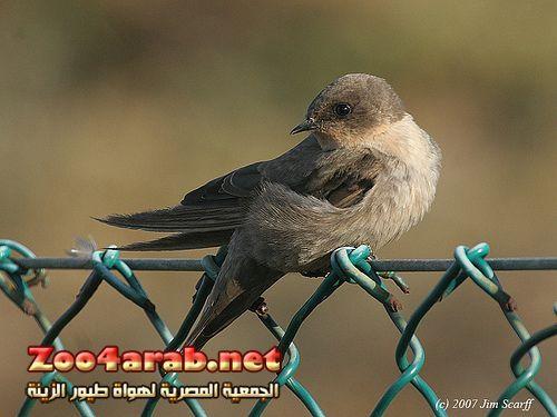 الأسم العربي خطاف الصخور الأسم الإنجليزي Rock Martin الأسم العلمي Ptyonoprogne Fuligula Animals Bird