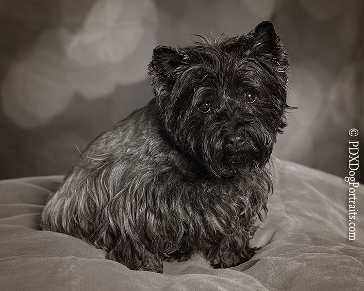 Cairn Terrier In Black White Cairn Terrier Terrier Cairn
