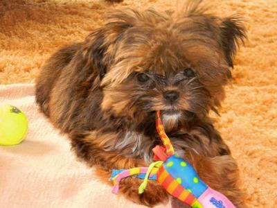 Chocshorkie Jpg 400 300 Shorkie Puppies Puppies For Sale Small Non Shedding Dogs