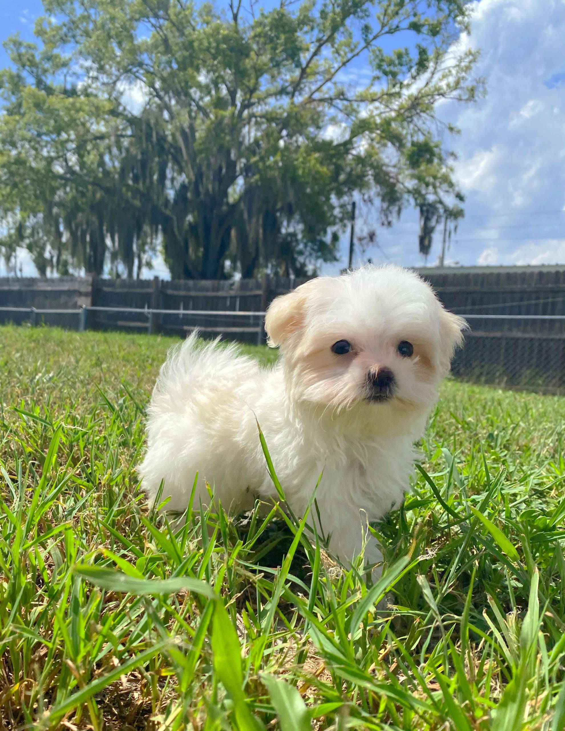 Chihuahua Mix Puppies For Sale In Florida References