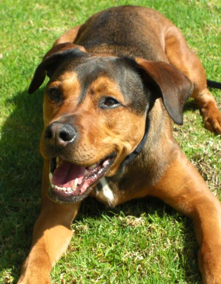 Rottie Mix Google Search Cute Pinterest Rottweiler