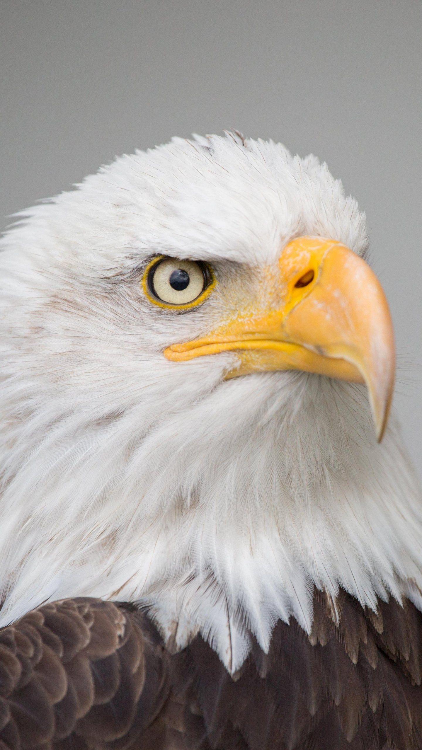 Bald Eagle Wallpaper Iphone Android Desktop Backgrounds In 2021 Eagle Wallpaper Bald Eagle Animal Wallpaper Eagle wallpaper hd download