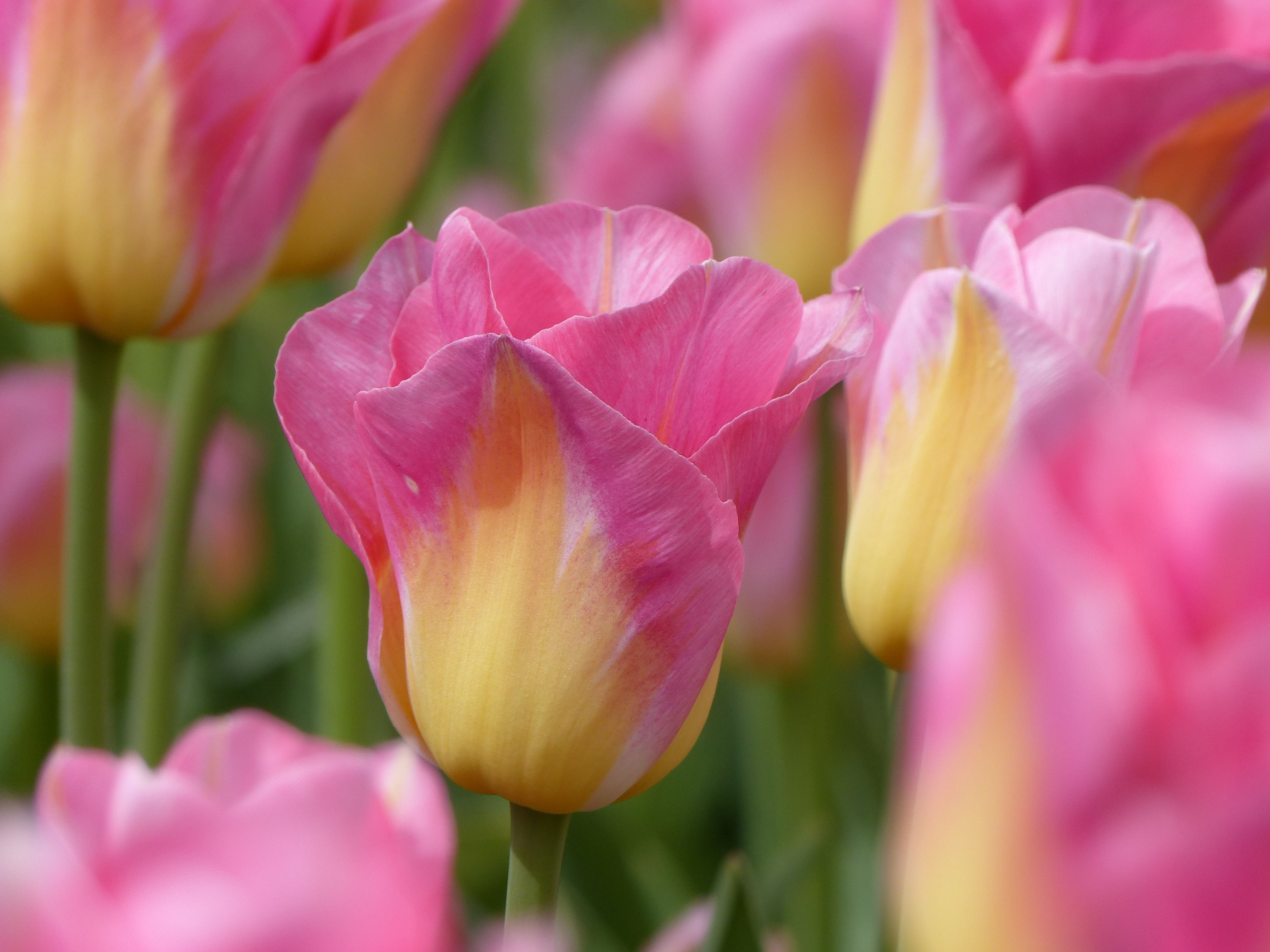 Tulpe Tom Pouce Tulpen Pflanzen Fruhlingsgarten