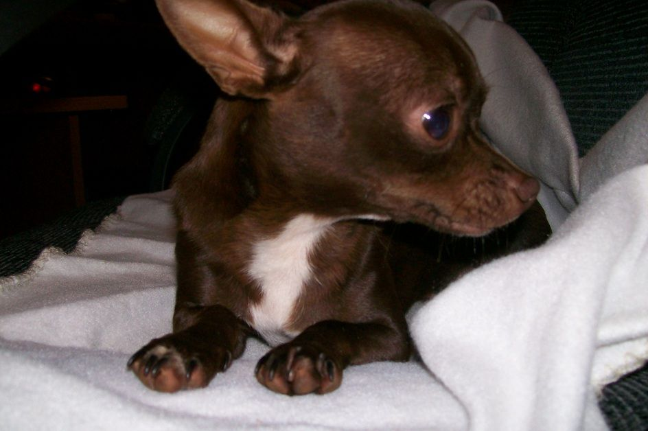 ~ Chocolate and White Chihuahua ~ | Chocolate Chi/ Natalee ...