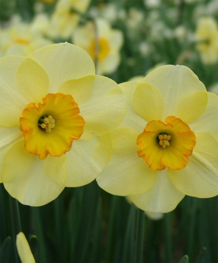 Narcissus Ringtone