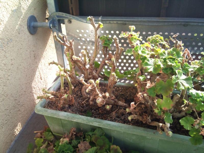 geranien und pelargonien berwintern geranien pflanzen. Black Bedroom Furniture Sets. Home Design Ideas
