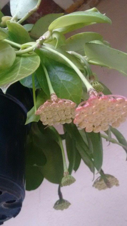 Hoya Obscura Orange Hoyas Forever Hoya Plants Plants Indoor Plants