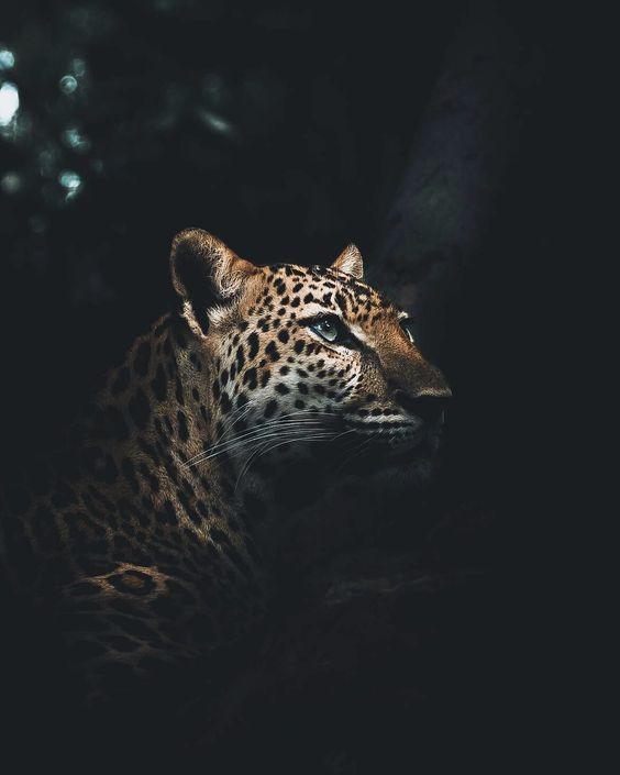 النمر نمر صور نمور طريقة حيوان حيوانات صور نمر النمر الوردي صور نمور صور النمر قناة النمور أسد ضبع الغابة صور نمر ا Jaguar Animal Animals Wild Animal Wallpaper