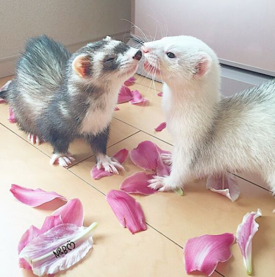 Ferret Kisses Cute Ferrets Super Cute Animals Pet Ferret