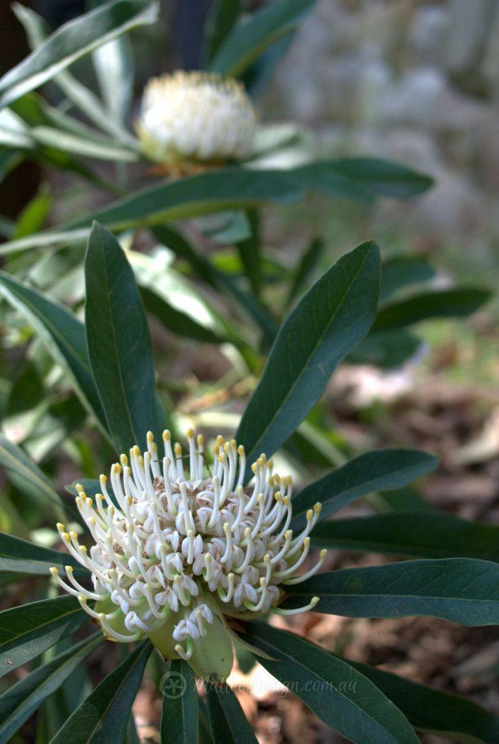 Telopea shady lady white australian trees plants flowers telopea shady lady white mightylinksfo