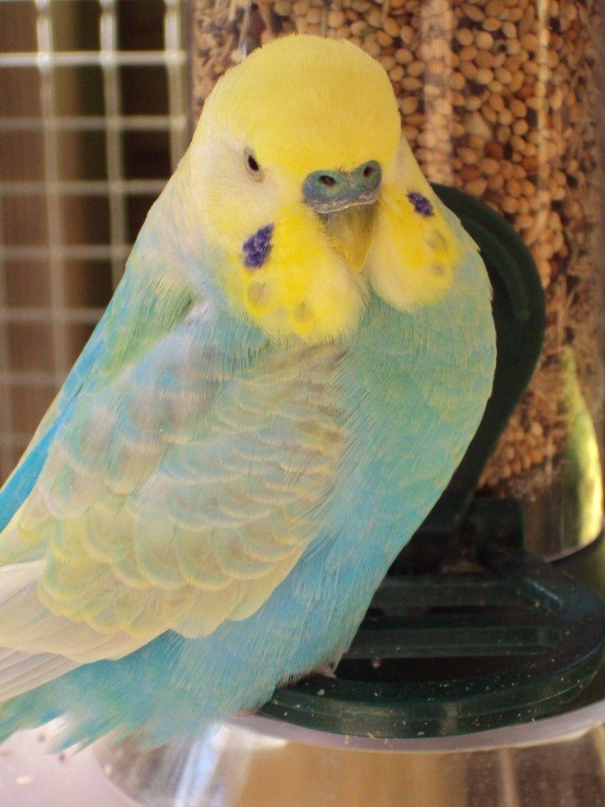 Budgie Grasparkiet Parkiet Budgies Bird Budgies Budgie Parakeet